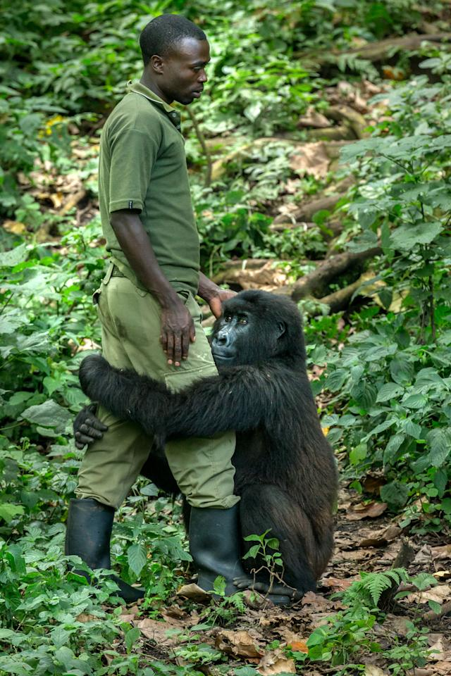 <p>Matthieu with gorilla Matabishi at the Senkwekwe Mountain Gorilla Center in the Democratic Republic of Congo. (Photo: Nelis Wolmarans/Caters News) </p>