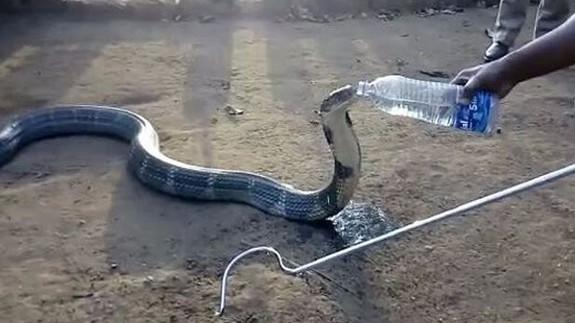 Image result for Angry king cobra is given water from a bottle after