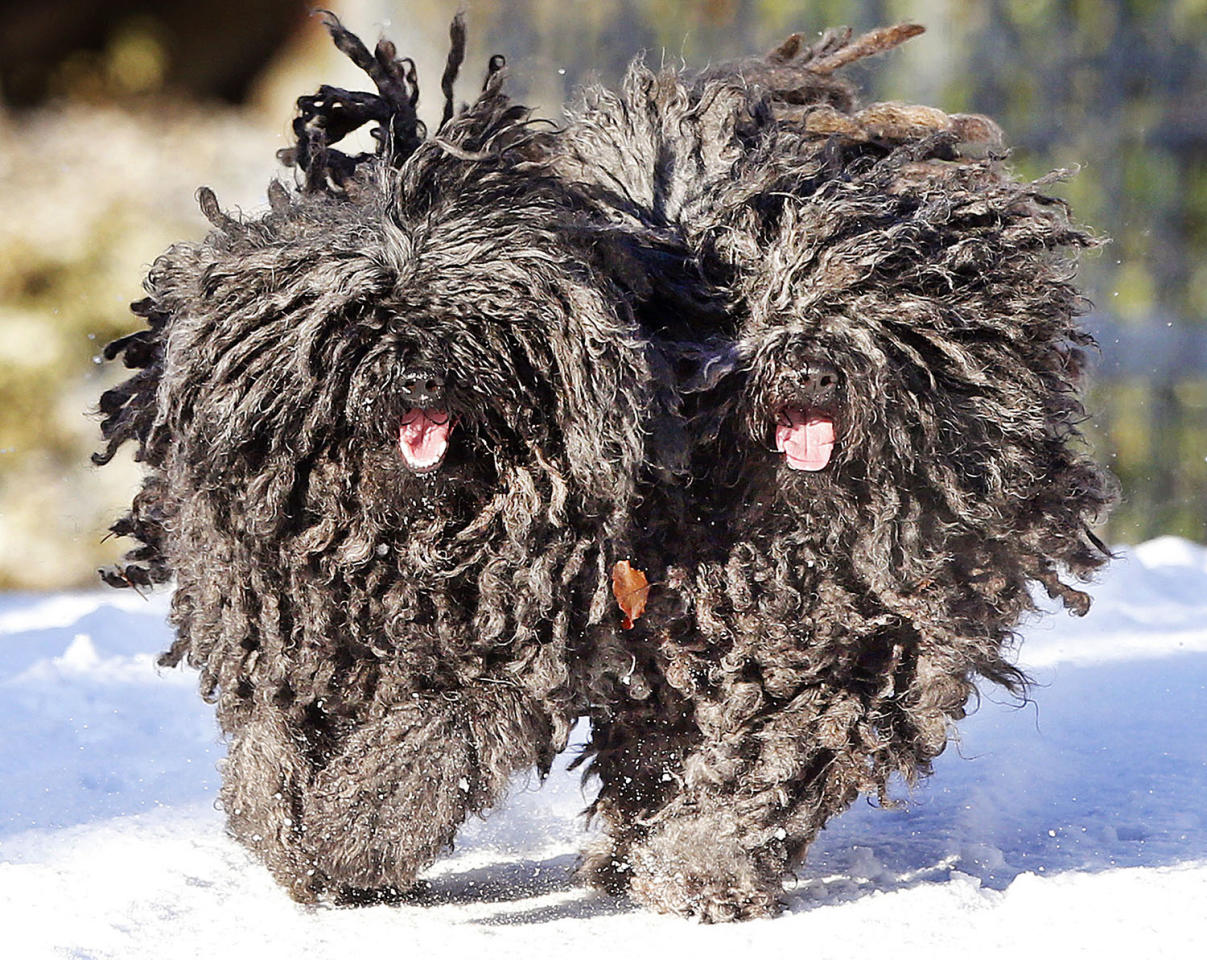 <p>Two Pulis, Quastie and Gin-Gin, run in the snow in their garden in Lautertal, Germany, Jan. 5, 2017. Pulis are Hungarian sheepdogs and rarely seen in Germany. (Photo: Michael Probst/AP) </p>