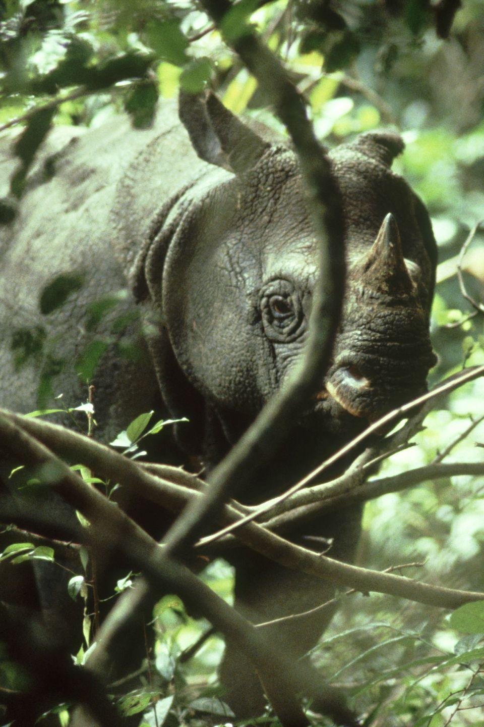 "<p><strong>Scientific classification:</strong> <em>Rhinoceros sondaicus</em></p><p><strong>Location: </strong>Indonesia</p><p>While rhinos are more associated with the African continent, there are Asian species in the rhino family. The Indian rhino could be faring better—it's considered near threatened—but is outright thriving compared to the Javan rhino, confined to the island of Java after hunting and deforestation drove it from the rest of southeast Asia. The Vietnam War also severely drove down the population of the rhino as its habitat was destroyed. </p><p>Today, <a href=""https://www.worldwildlife.org/species/javan-rhino"" rel=""nofollow noopener"" target=""_blank"" data-ylk=""slk:only 60 Javan rhinos survive"" class=""link rapid-noclick-resp"">only 60 Javan rhinos survive</a> in a wildlife preserve at the very western tip of Java. Disease and inbreeding may still drive this small population to extinction, despite extensive efforts to save it. A few remaining populations off of Java have been spotted over the years, but they are few and far between and one of these populations was driven to extinction in Vietnam in 2010, leading to few options to introduce new rhinos to the breeding stock. (The Javan rhino is not closely related to the five other rhino species, save for the Indian rhino.)<br></p>"