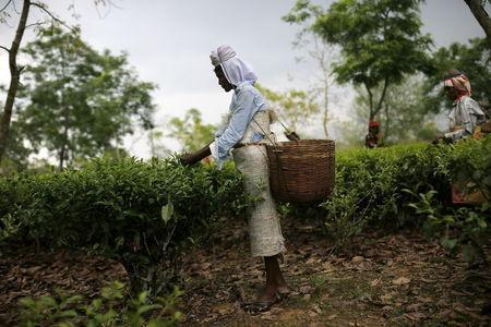 A tea garden worker plucks tea leaves inside Aideobarie Tea Estate in Jorhat in Assam, India, April 21, 2015. REUTERS/Ahmad Masood