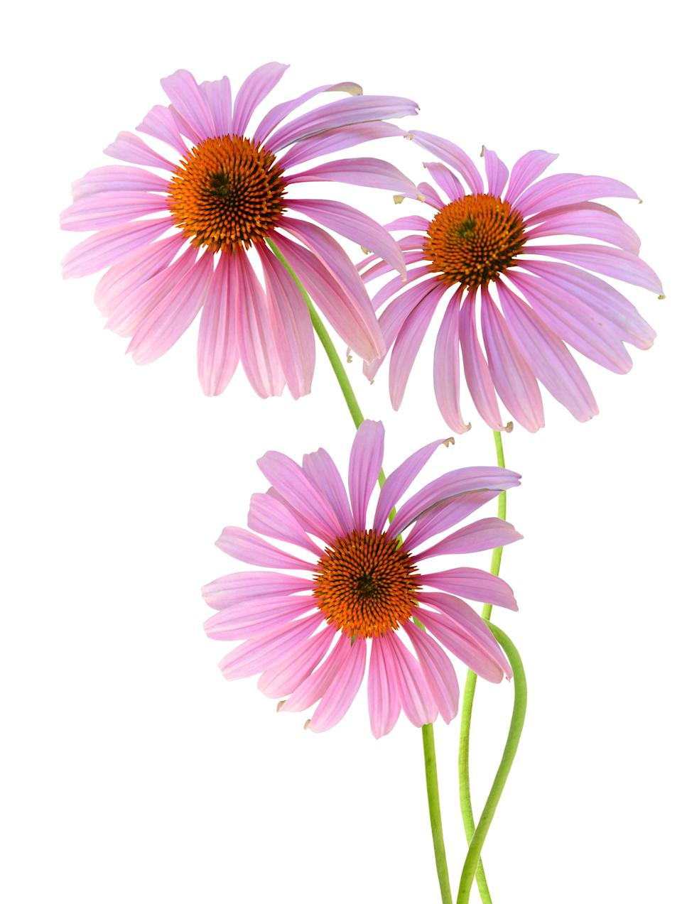 Research suggests the use of a properly formulated Echinacea means fewer colds, reduced duration of cold symptoms, and less reliance on synthetic pain relievers.