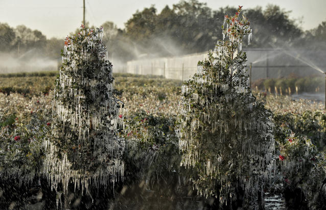 <p>A thin layer of ice covers ornamental plants Thursday, Jan. 4, 2018, in Plant City, Fla. Temperatures in central Florida dipped to below freezing. Growers spray water on the plants to help protect them from extreme cold temperatures. (AP Photo/Chris O'Meara) </p>