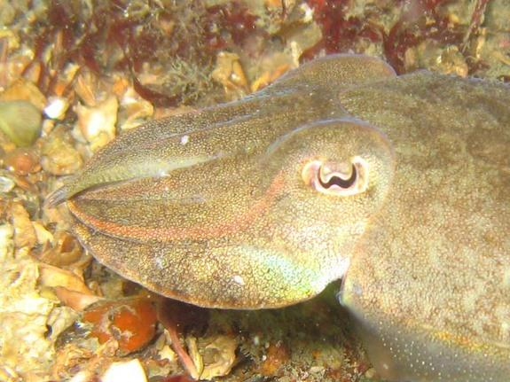 Cuttlefish can rapidly change their colors to blend in.