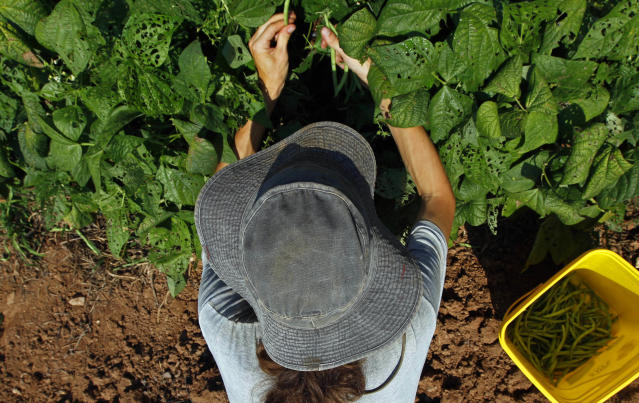 Graham Gallaway shields himself with a hat as he picks green beans under the hot sun at Piedmont Biofarm in Pittsboro, N.C., Friday, June 29, 2012. Triple-digit temperatures are expected for several days in North Carolina. (AP Photo/Gerry Broome)