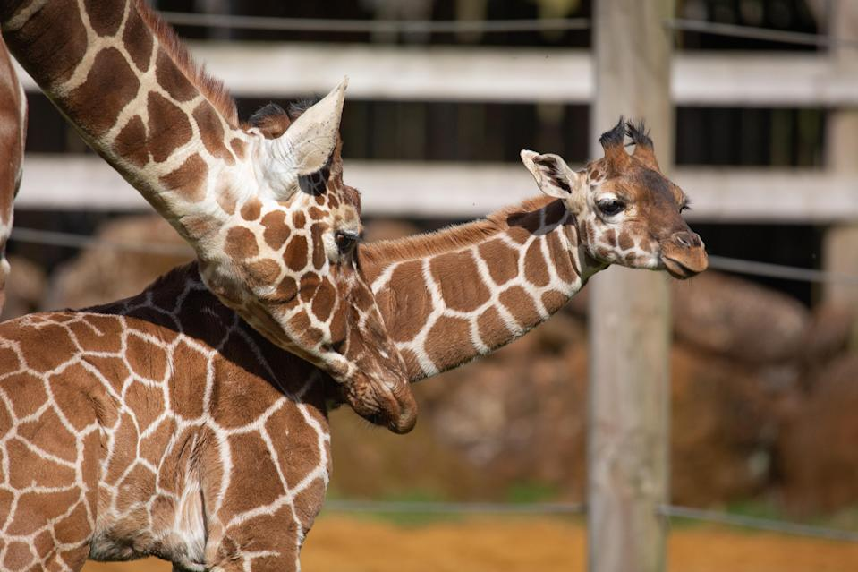 Giraffe calf Margaret was born on the day the UK's first Covid-19 vaccine was administered (ZSL Whipsnade Zoo)