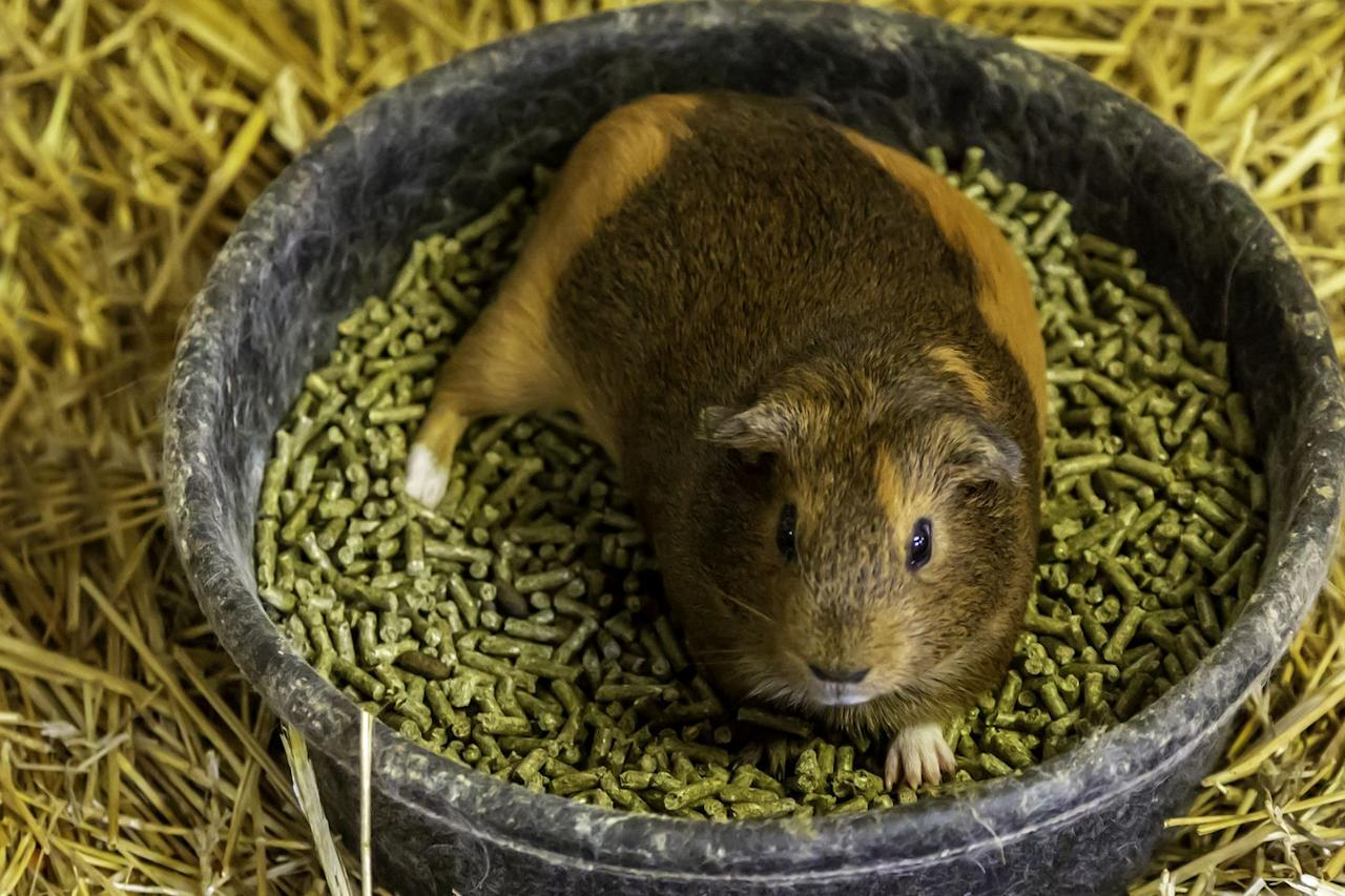 """<p>When buying pellets, pick ones specifically formulated for guinea pigs because they contain the proper dosage of vitamin C and nutrients they need.</p><p>If your guinea pig hasn't eaten the pellets in an hour, remove their bowl, as guinea pigs will overeat if given the opportunity. Because of this, you should only feed them pellets in the morning and in the evening.</p><p><strong>What you'll need</strong>: <a href=""""https://www.petco.com/shop/en/petcostore/product/small-animal/small-animal-food-treats/guinea-pig-food-1/kaytee-forti-diet-pro-health-guinea-pig-food"""" target=""""_blank"""">Guinea Pig Food</a> ($7, Petco.com)</p>"""