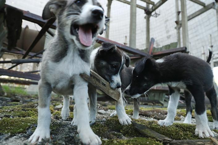 Stray puppies play in an abandoned, partially completed cooling tower inside the exclusion zone at the Chernobyl nuclear power plant on August 18, 2017.
