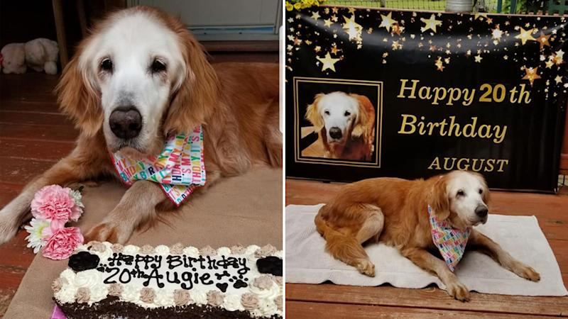 Augie, as she is affectionately known, celebrated her record breaking birthday with help from the Gold Heart Golden Retrievers Rescue who believe she is the oldest of her breed.