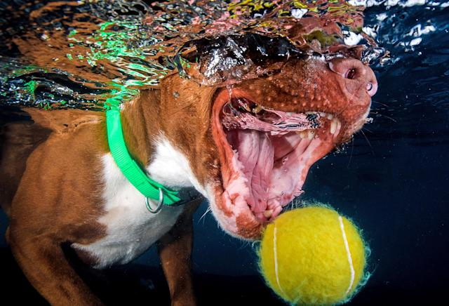 <p>The jaws of a Staffordshire bull terrier just miss the floating tennis ball. (Photo: Jonny Simpson-Lee/Caters News) </p>