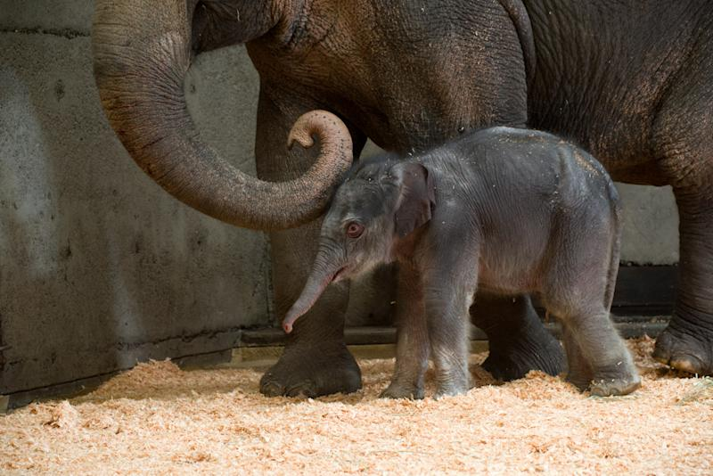 Zoo says baby elephant will stay in Portland, Ore.
