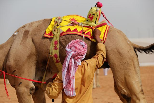 DUBAI, UNITED ARAB EMIRATES - APRIL 16: A handler removes a robotic jockey from a camel during Al Marmoom Heritage Festival at the Al Marmoom Camel Racetrack on April 16, 2014 in Dubai, United Arab Emirates. The festival promotes the traditional sport of camel racing within the region. (Photo by Francois Nel/Getty Images)