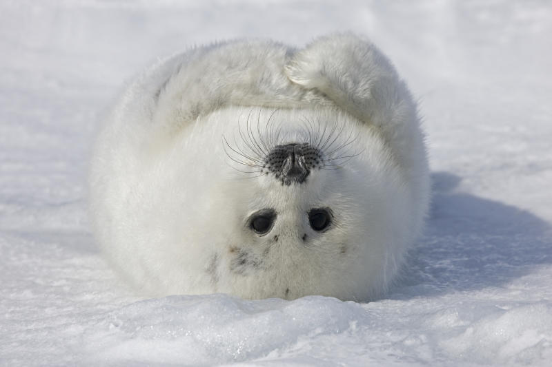 Baby Artic Seal in Canada