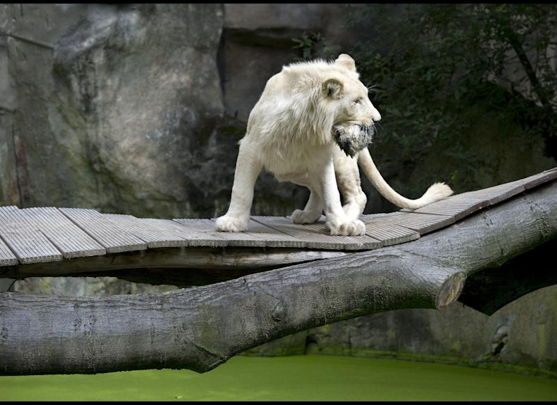 A white lion at Ouwehands Zoo in Rhenen stands on a wooden bridge whilst holding a rabbit skin filled with meat on August 19, 2011. The lions are being fed the fake prey to stimulate and develop their natural instincts. AFP PHOTO / ANP ROBERT VOS netherlands out - belgium out (Photo credit should read ROBERT VOS/AFP/Getty Images)