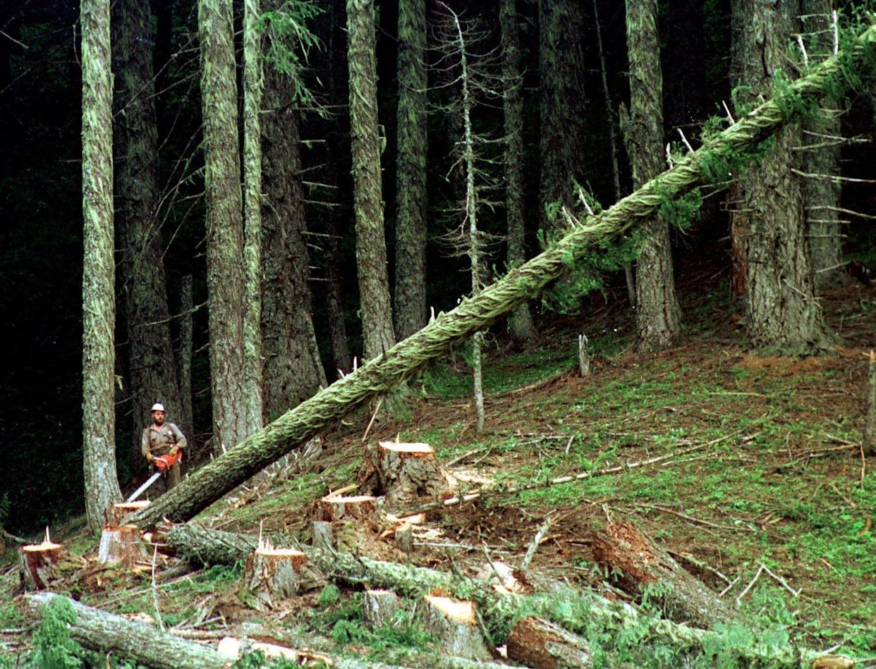 In this undated file photo, a large fir tree heads to the forest floor after it is cut by an unidentified logger in the Umpqua National Forest near Oakridge, Oregon. (Photo: ASSOCIATED PRESS)