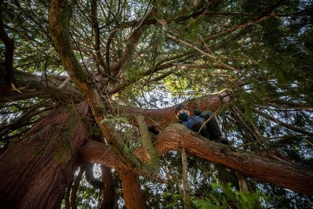 Ted Satake, 13, is pictured in the branches of the 200-year-old tree on March 16.