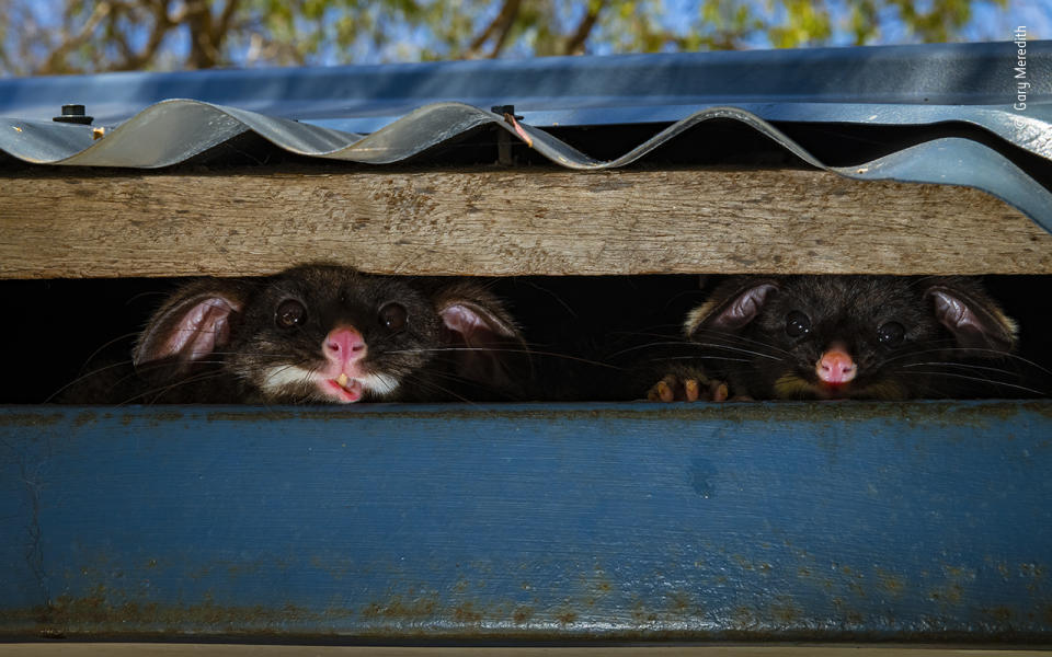 Two common brushtail possums –a mother (left) and her joey –peek out of their hiding place under the roof of a shower block in a holiday park in Yallingup, Western Australia.