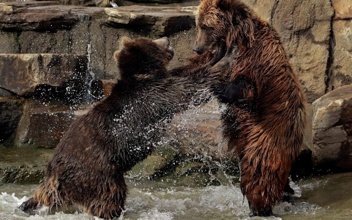 n this Thursday, Jan. 17, 2019, file photo, bears frolic at the Oakland Zoo in Oakland, Calif. The Oakland Zoo zoo is vaccinating its large cats, bears and ferrets against the coronavirus using an experimental vaccine being donated to zoos, sanctuaries and conservatories across the country. - AP