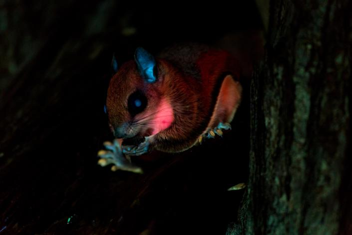 In an undated image from the researcher, a squirrel glowing under UV light in the backyard of Jonathan Martin. (Jonathan Martin/Northland College via The New York Times)