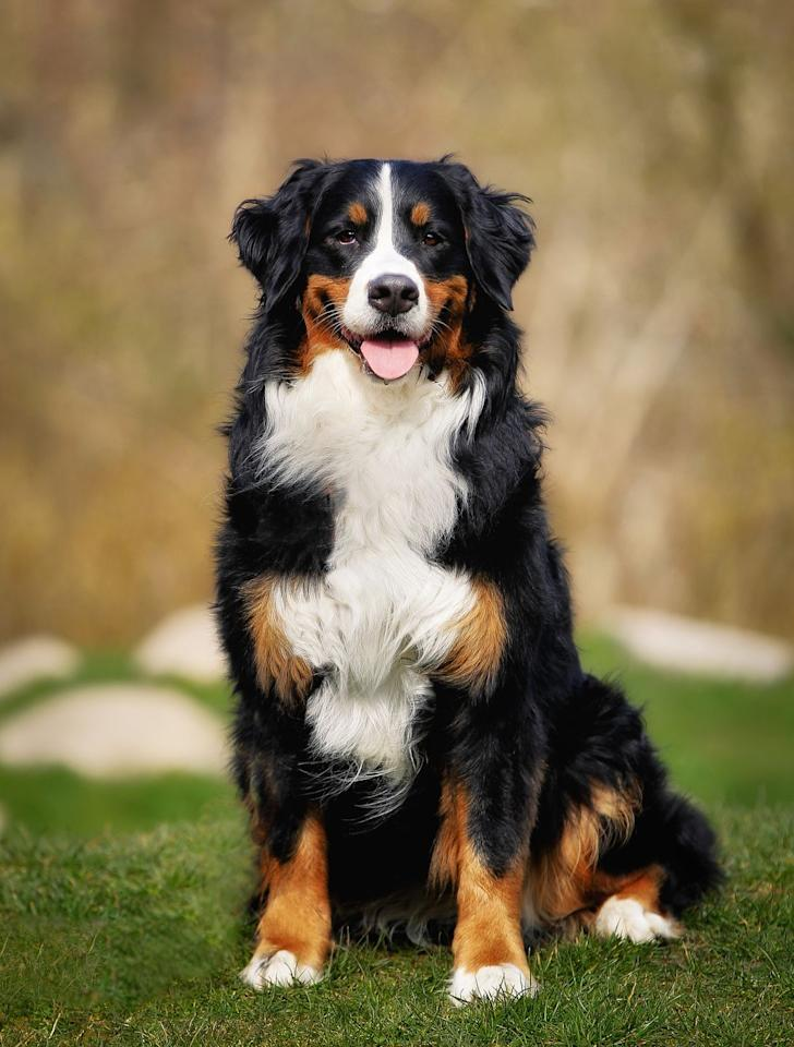 """<p>For families that like to think big, consider a gentle giant like the Bernese Mountain Dog. They can top 100 pounds, but underneath all that fluff is a sweet, warmhearted pet known for its gentle nature with children. </p><p><strong>RELATED: </strong><a href=""""https://www.goodhousekeeping.com/life/pets/advice/g1737/largest-dog-breeds/"""" target=""""_blank"""">The 25 Largest, Most Lovable Dog Breeds</a></p>"""