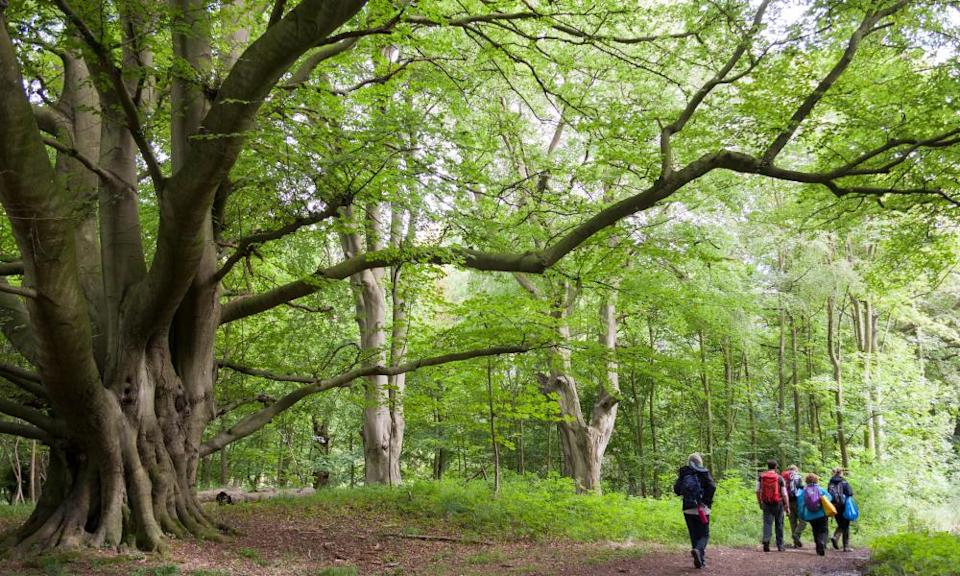 Old beech tree and walkers