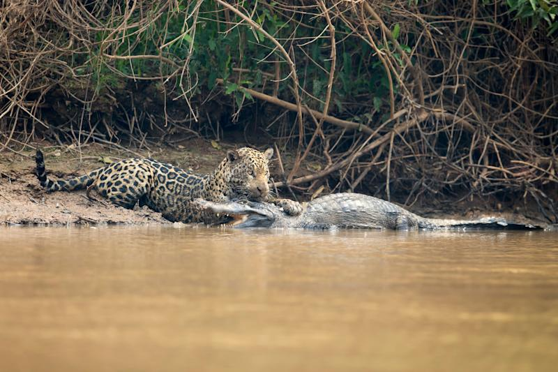 A jaguar ambushes a giant jacare caiman high up on the Three Brothers River in the Pantanal in Mato Grosso, Brazil.