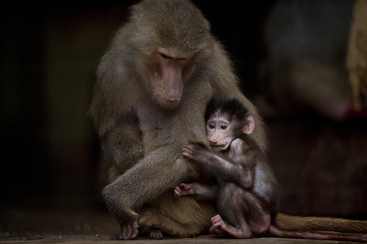 In this July 8, 2016 photo, a young baboon clings to its mother in their enclosure at the former city zoo now known as Eco Parque in Buenos Aires, Argentina. A year after the zoo closed its doors and was transformed into a park, hundreds of animals remain behind bars and in a noisy limbo. (AP Photo/Natacha Pisarenko)