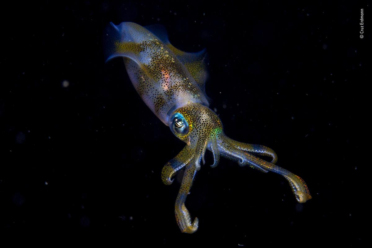 Cruz was on an organised night dive in New Zealand when he found himself over an unpromising sand flat in just 3m of water. The squid he encountered was engaged in a courtship ritual, involving a glowing, fast-changing communication of lines, spots and stripes.