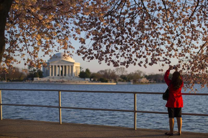 This Wednesday, April 9, 2014 photo shows a woman touching cherry blossoms as they begin to bloom at the Tidal Basin in Washington. The park service says the trees reached peak bloom Thursday. That means at least 70 percent of the trees around the Tidal Basin are blossoming with pink and white flowers.(AP Photo/ Evan Vucci)