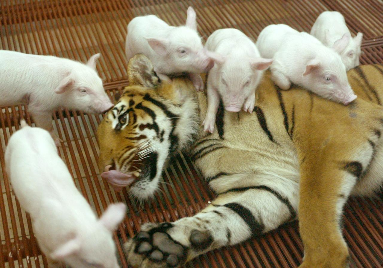 A FEMALE TIGER PLAYS WITH BABY PIGS AT A THAI ZOO.