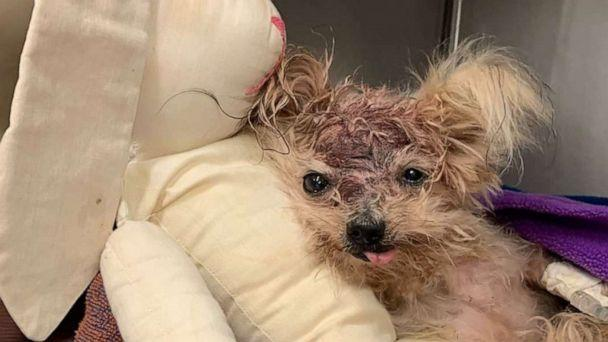 PHOTO: Pringles the Yorkshire Terrier was found in a trashcan with a traumatic head injury last week in North Philadephia. (Pennsylvania SPCA)