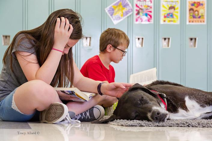 <p>Rescue dog cross breed (Great Dane and Labrador Retriever) named Bosco went to help children at a local school. </p>