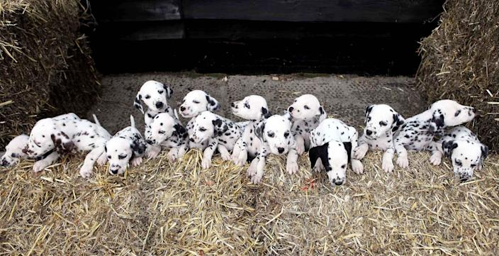 A Dalmatian named Milly who herself was born in a huge and rare litter of 16 puppies has proved lightning can strike twice after she also gave birth to 16 beautiful spotted pups six weeks ago on 28 May. Milly's new arrivals were delivered at Newlands Veterinary Clinic in Ludlow, Shropshire. They are now being cared for at home by Lisa and Terry Elvins and their daughters in near Church Stretton, Shropshire, before they are all but one found new homes. (Photo by Diensen Pamben/Newsteam/Getty Images)