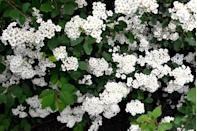 <p>This annual is offered in an array of colorful blooms. While often grown as a perennial in most USDA Hardiness Zones, it also works as a perennial in Zones 9-11 and blooms in spring to fall.</p>