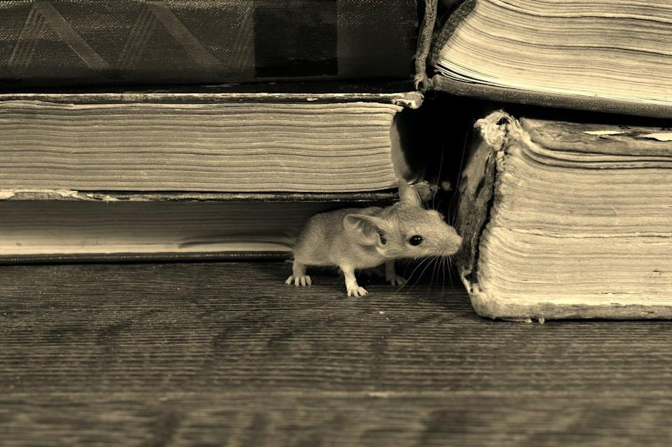 """<span class=""""attribution""""><a class=""""link rapid-noclick-resp"""" href=""""https://www.shutterstock.com/es/image-photo/close-young-mouse-sniffs-old-book-1347647852"""" rel=""""nofollow noopener"""" target=""""_blank"""" data-ylk=""""slk:Shutterstock / torook"""">Shutterstock / torook</a></span>"""