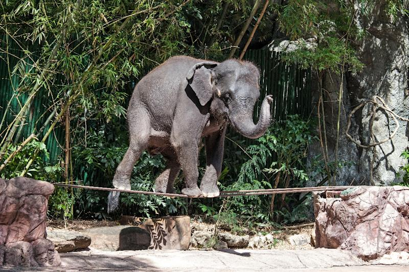 Of the 2,923 elephants WAP documented working within Asia's tourism trade, 2,198 were found in Thailand alone. (AFP Photo/Handout)