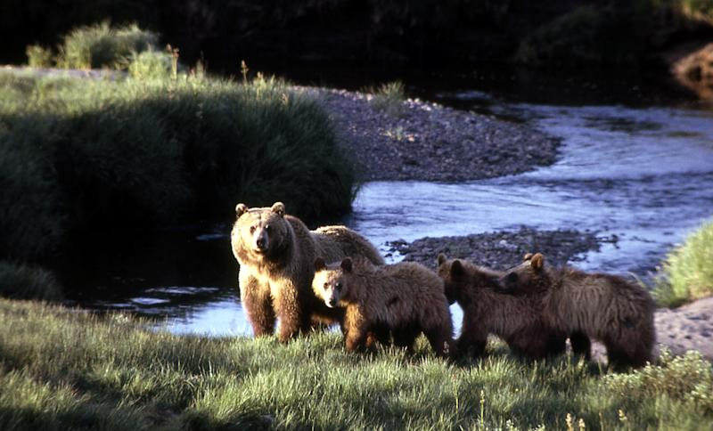 In this undated image provided by the National Park Service, a grizzly bear sow and three cubs roam inside Yellowstone National Park, Wyo. Wildlife agencies in the Northern Rockies go to lengths to warn people of the dangers of grizzly country _ from signs advising hikers to carry mace-like bear spray, to radio ads that warn hunters to take care when stalking elk in bear habitat. (AP Photo/National Park Service)