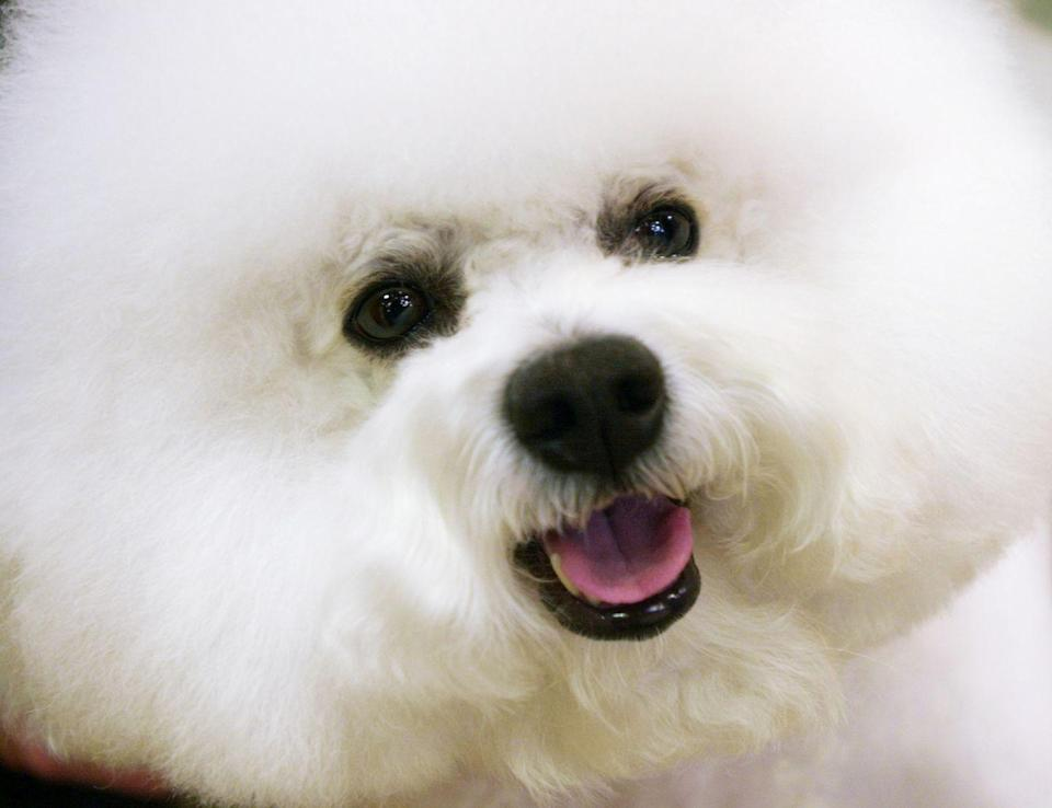 <p>If you think this bichon frisé named J.R. looks like a puffball, you'd be absolutely correct. </p>
