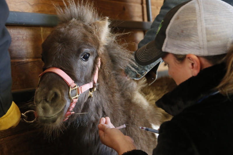 In this Thursday, Dec. 12, 2019 photo, Dr. Charlotte Kin prepares a vaccine for a newly acquired miniature horse at Nexus Equine in Edmond, Okla. A re-homing partner with the American Society for the Prevention of Cruelty to Animals, Nexus provides veterinary care, farrier care and training for horses it takes in and seeks to re-home. (AP Photo/Sue Ogrocki)