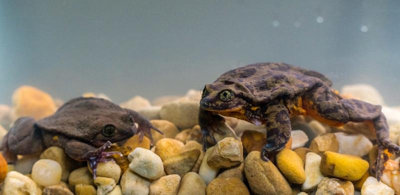 Happily, the first date between Romeo, once the last-known Sehuencas water frog, and Juliet, who was discovered deep inside a Bolivian cloud forest, went so well the two have been living together in the male's aquarium since (AFP Photo/HO)