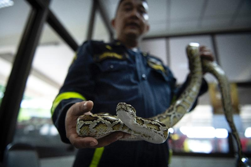 Snakes are a common sight in Bangkok and firefighters are often called out to help catch them (AFP Photo/Lillian SUWANRUMPHA)