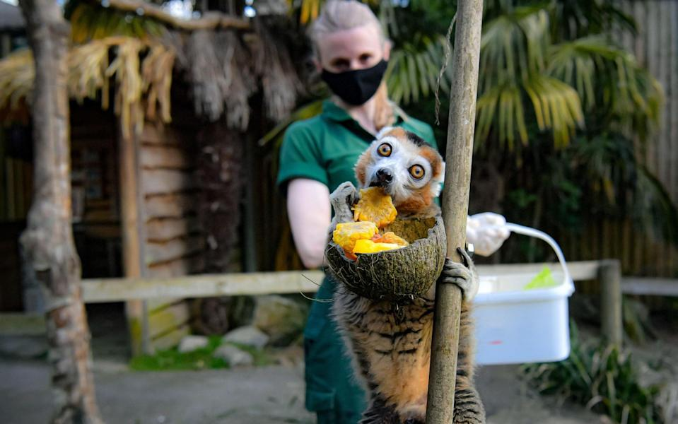 A crown lemur at Bristol Zoo is pumped about Monday - PA