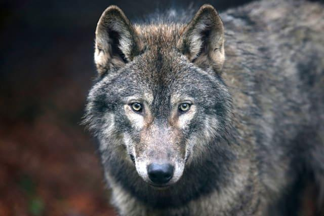 Call to bring back wolves to British countryside