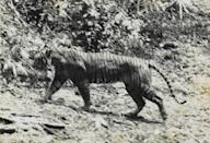 <p>Similar in appearance to the Sumatran tiger, the Javan tiger was native to the Indonesian island of Java. In the 1800s they were so common they were considered pests by island natives, but as the island was developed their population dwindled. By the 1950s, only 20 tigers remained. </p><p><strong>Cause of Extinction:</strong> loss of habitat and agricultural development led to severe population decline. Conservation efforts in the 1940s and '50s were unsuccessful due to a lack of adequate land and planning.</p>