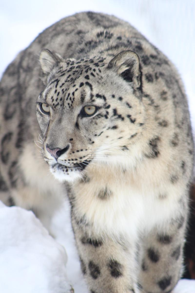 Raj, an 8-year-old snow leopard at the Binder Park Zoo in Battle Creek, Mich.