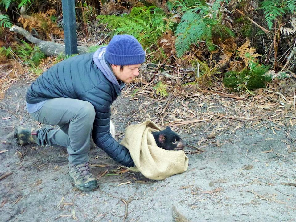 Wildlife ecologist Dr Calum Cunningham releasing a Tasmanian devil in the wild this month. Source: AAP