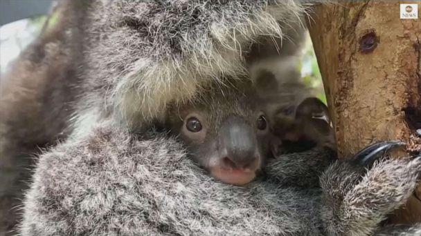 PHOTO: Melbourne Zoo welcomes first baby koala in 8 years. (APTN)