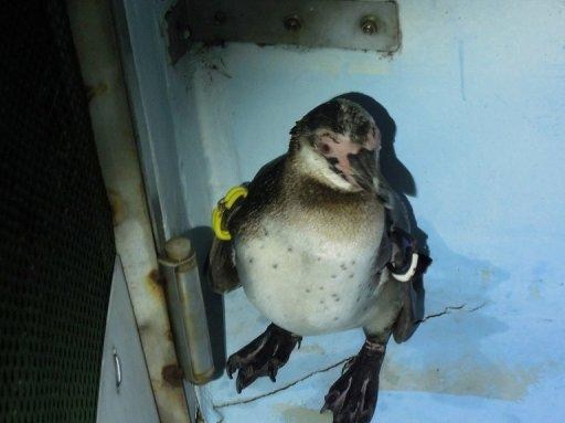 Great escapee, Humboldt penguin No. 337, is to be formally named after months of being known just by his number