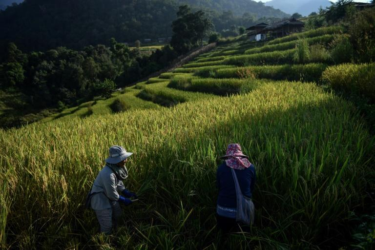 Battling drought, debt and ailments blamed on pesticides, rice farmers in northern Thailand have turned to eco-friendly growing methods despite powerful agribusiness interests in a country that is one of the top exporters of the grain in the world