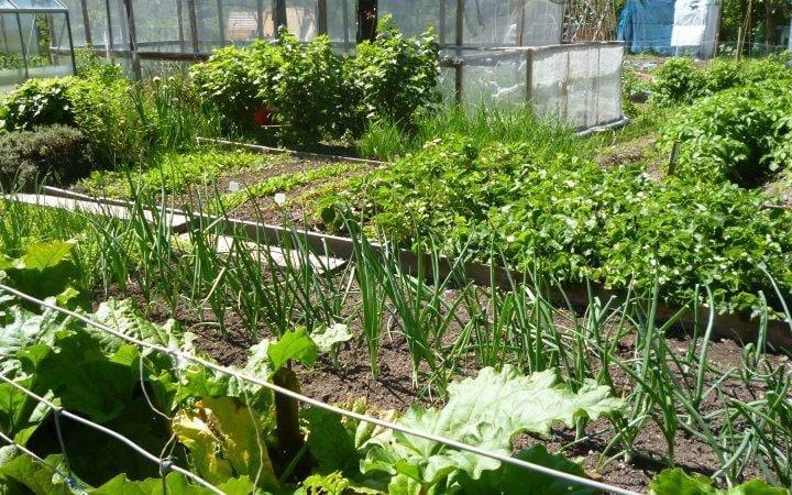 Aberystwyth allotments is an excellent example of what is possible in vegetable beds, and you'll leave feeling inspired to start your own - National Garden Scheme
